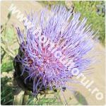 Anghinarea-Cynara scolymus-floare