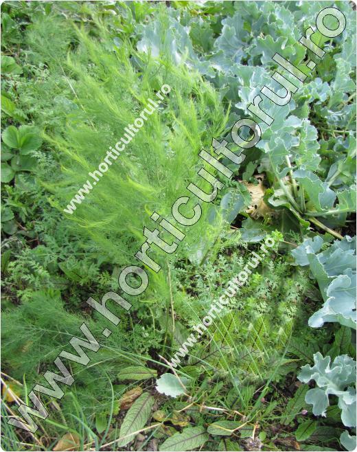 Sparanghel-Asparagus offic