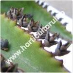 Bryophyllum - Kalanchoe