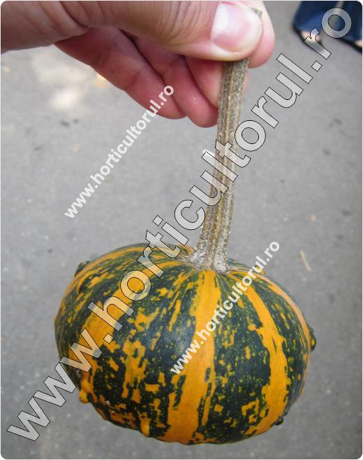 Tartacute, Dovlecei ornamentali