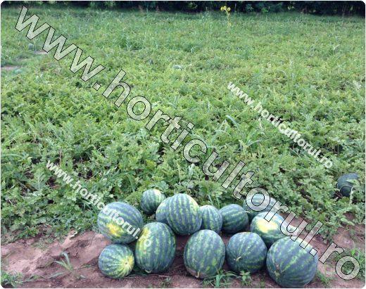 Fig. 4 Pepene verde (Citrullus lanatus)
