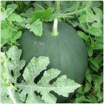 Pepene verde-Lubenita-Citrullus lanatus