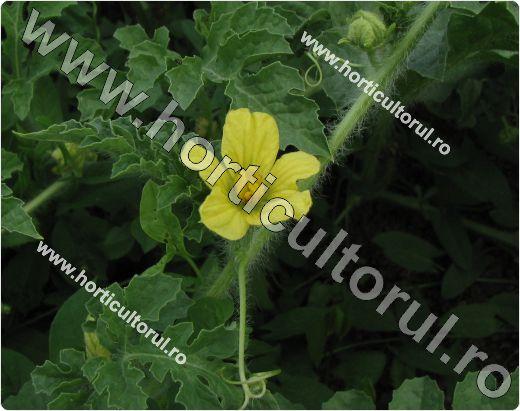 Pepenele verde (Citrullus lanatus)