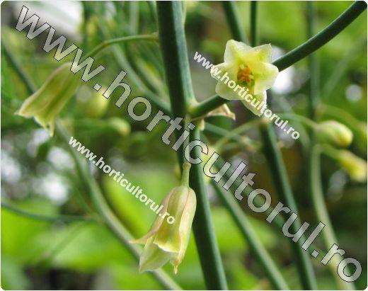 Sparanghelul-Asparagus officinalis_1