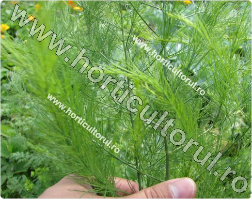 Sparanghel-Asparagus officinalis-frunze