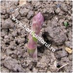 Sparanghel-Asparagus officinalis-leguma