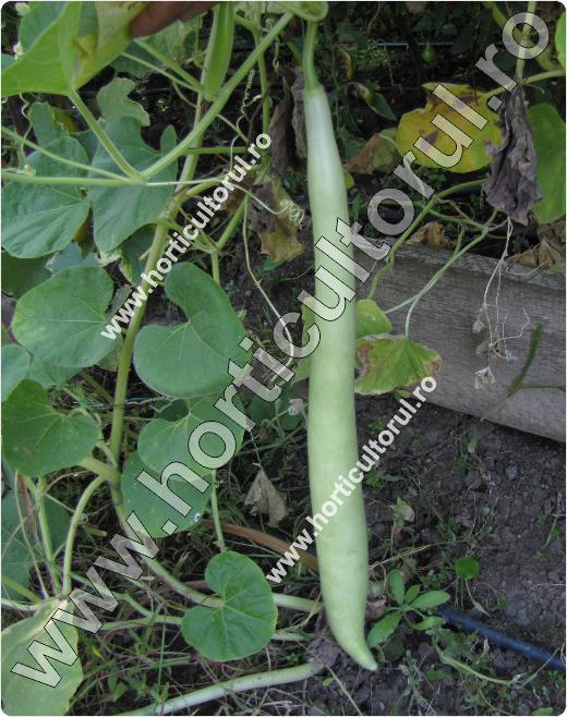 Tigva (Lagenaria siceraria)