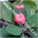 euphorbia milii mini