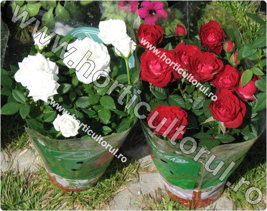 trandafiri pitici de ghivec