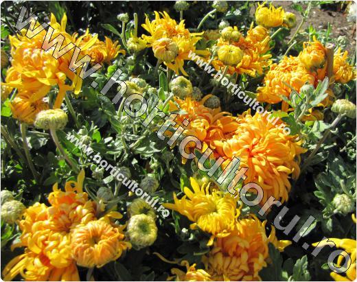 Chrysanthemum Golden Percy Slater