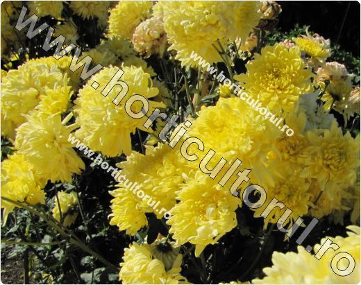 Chrysanthemum Oliver
