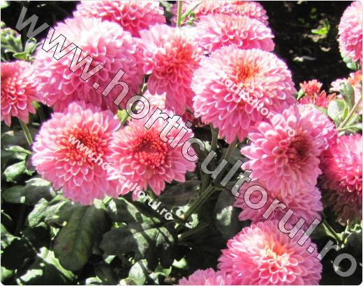 Chrysanthemum Pink Windfield