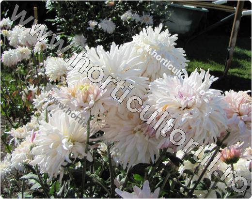 Chrysanthemum White Una