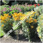 Crizanteme in gradina