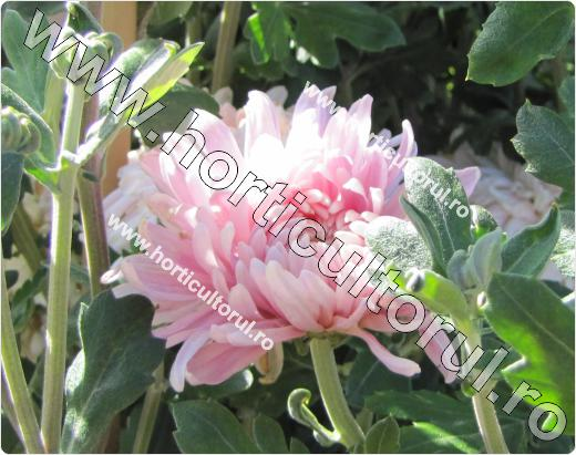 Chrysanthemum Mrs. J. Seally