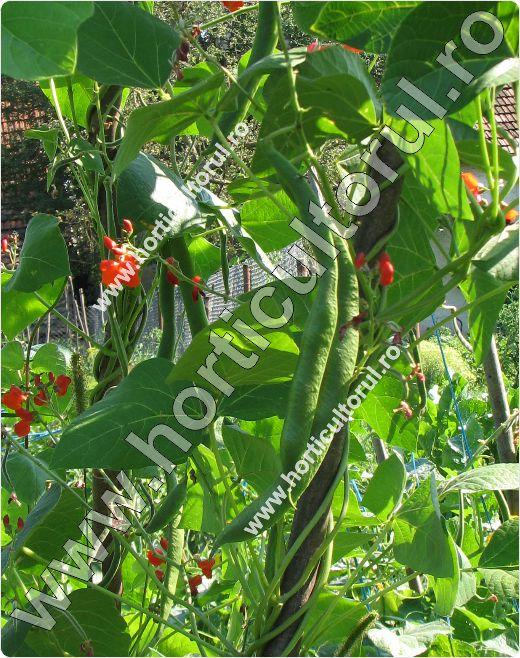 Fasolea-de-Spania-Phaseolus-coccineus