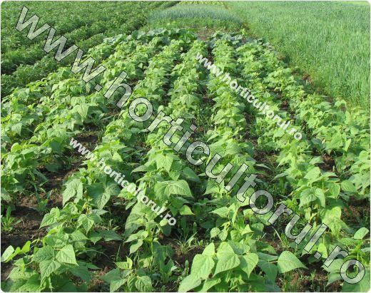 Phaseolus-vulgaris-var.-Nanus