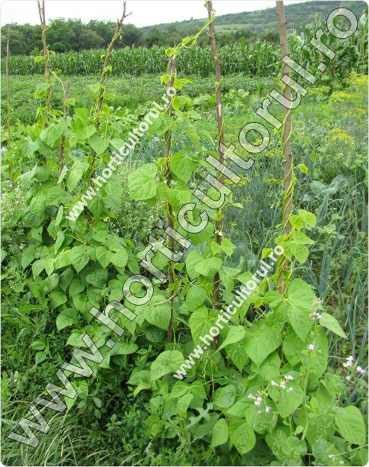Fasolea-urcatoare-de-gradina-Phaseolus-vulgaris-var.-Vulgaris