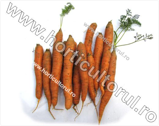 Morcovul (Daucus carota ssp. sativus): descriere