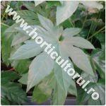 Ricinul fals-Fatsia japonica