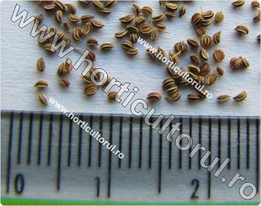 Telina de radacina (Apium graveolens var. rapaceum)