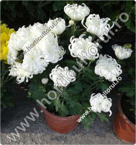 Crizanteme La Ghiveci Ingrijire Inmultire Horticultorulro