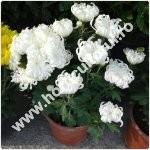 crizantema la ghiveci