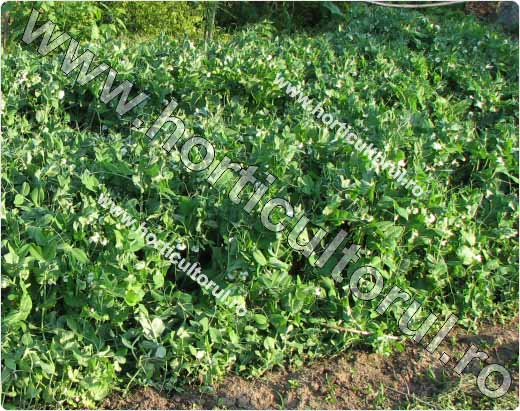 Mazarea de gradina (Pisum sativum)