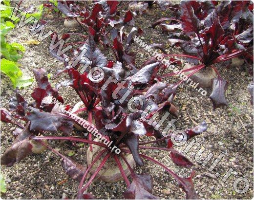 Sfecla rosie (Beta vulgaris ssp. vulgaris var.conditiva)