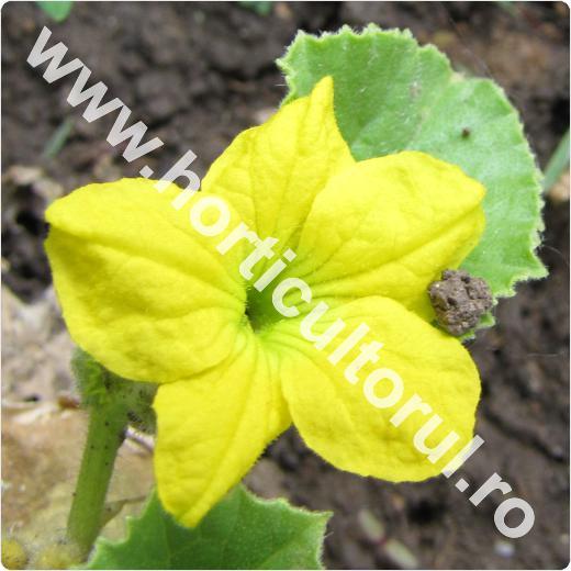 Pepene galben-Cucumis melo-floare