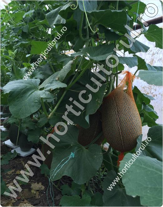 Fig. 1 Pepenele galben (Cucumis melo)
