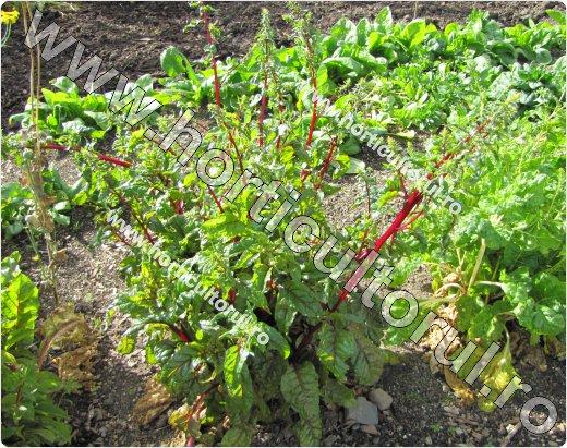 Sfecla rosie (Beta vulgaris ssp. vulgaris var.conditiva), planta semincera