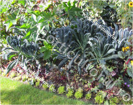 Varza de frunze-Brassica oleracea var. acephala