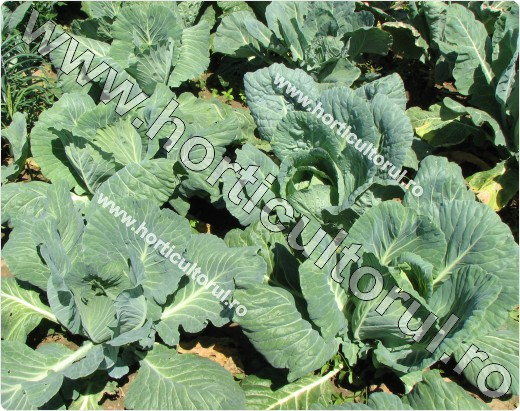Varza alba pentru capatana (Brassica oleracea var. capitata f. alba)