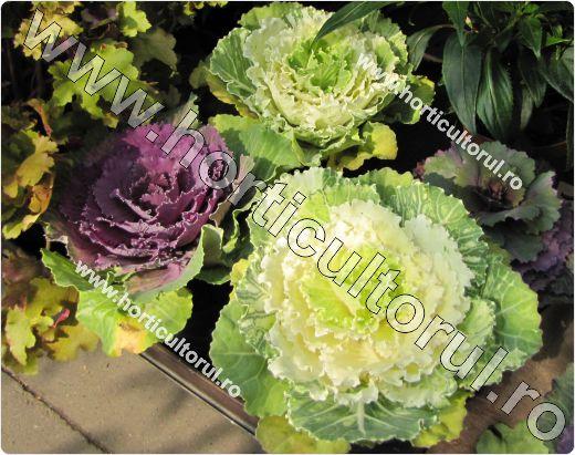 Fig. 3 Varza de frunze (Brassica oleracea var. acephala 'Pink beauty' )