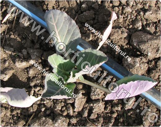 Varza rosie pentru capatana (Brassica oleracea var. capitata f. rubra)