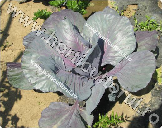 Fig. 4 Varza rosie pentru capatana (Brassica oleracea var. capitata f. rubra)