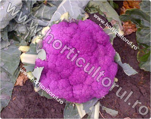 conopida_purpurie