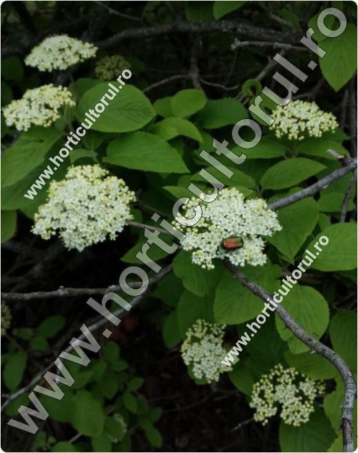 Darmoz-floare-Viburnum lantana