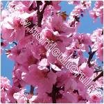 Piersicul ornamental-Prunus persica