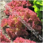 Salata-Lactuca sativa