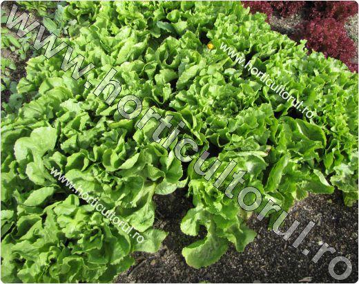 Salata de frunze