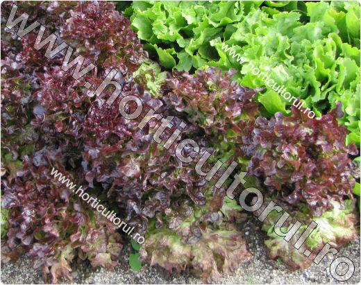 Salata tip Oakleaf