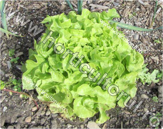 Salata tip Oakleaf-verde