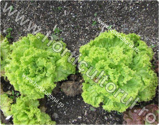 Salata tip lollo-verde