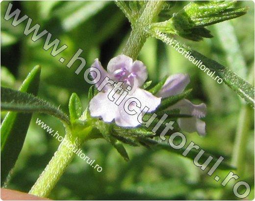 cimbru-floare