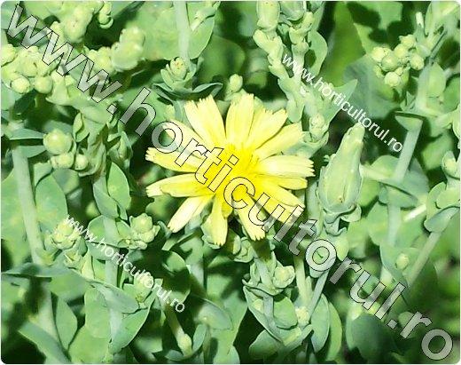 salata-floare