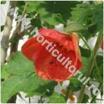 Abutilon-Floarea artar