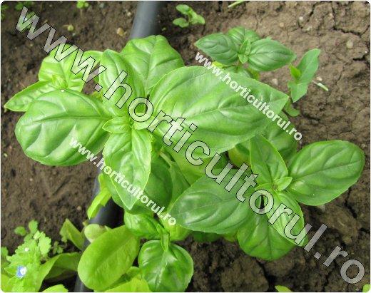 Busuioc-Ocimum basilicum