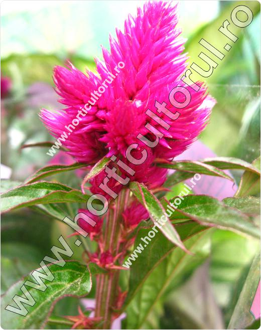 Celosia caracas
